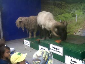 There were sheep as well to add to the excitement. Dougal was grouchy by the final show, so he had to be hauled off in disgrace...